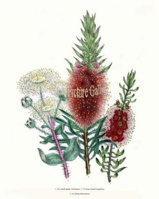 Callistemon, Small-spiked; Heart-leaved Angophora